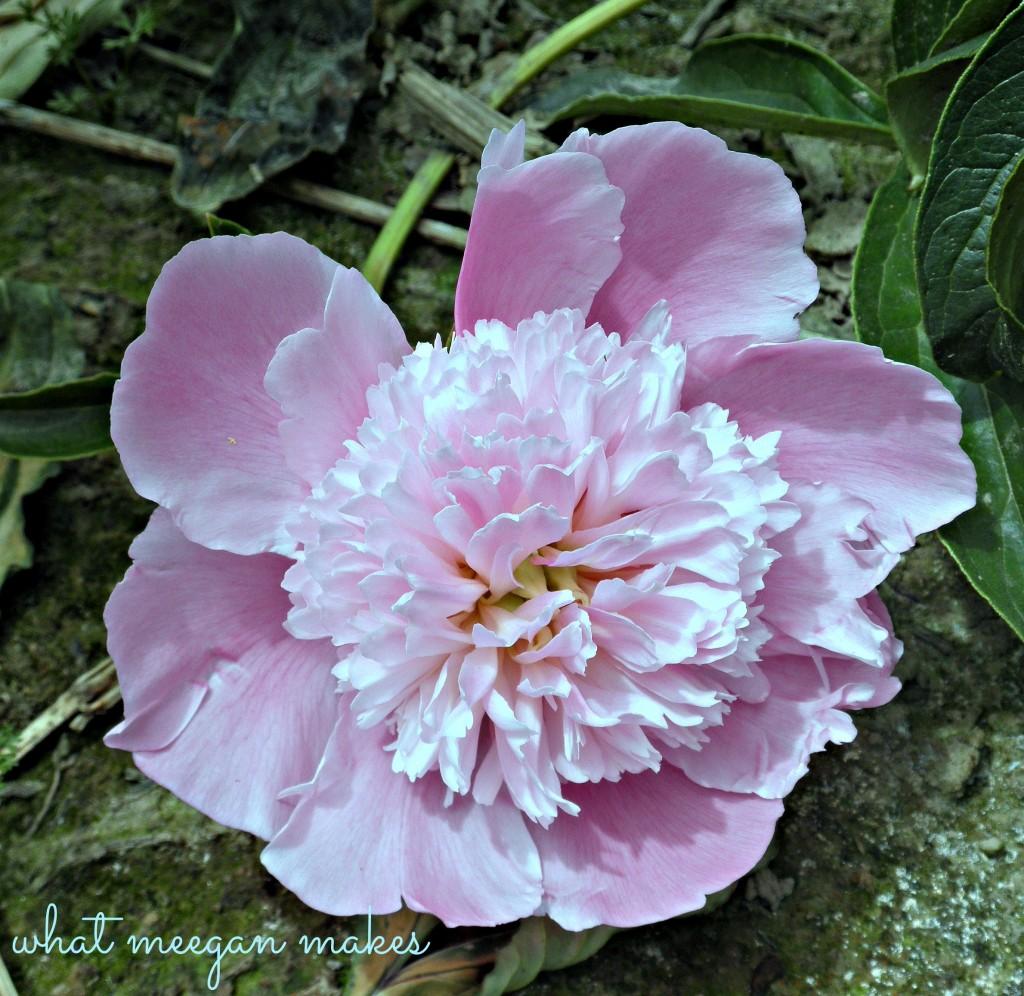 Field Trip Friday To A Rose Garden & Peony Farm