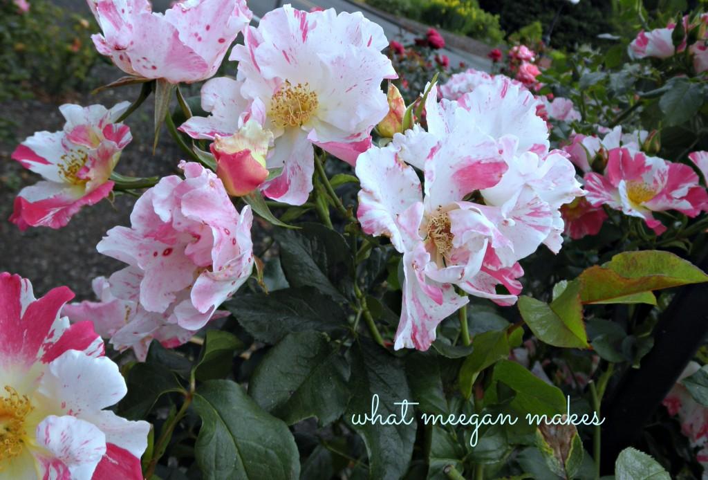 Field Trip Friday To A Rose Garden & Peony Farm.